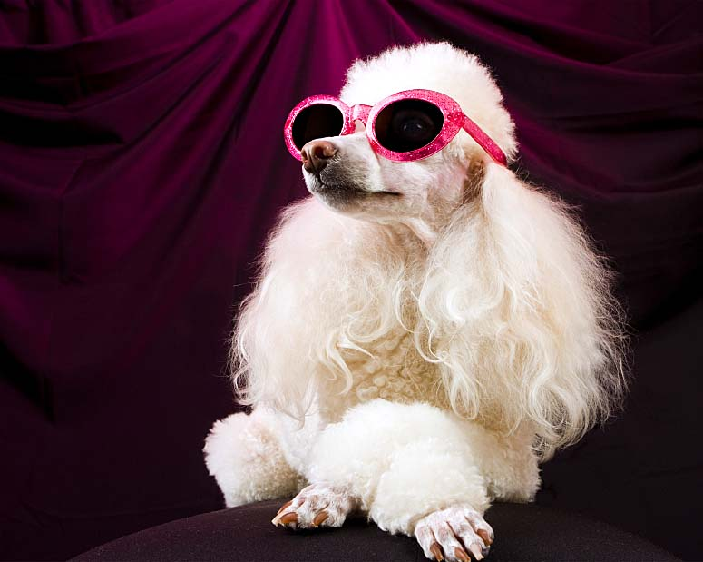 This pampered Poodle loves the diva life