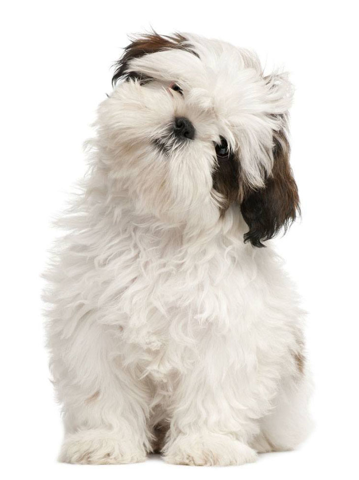 Curious Shih Tzu puppy