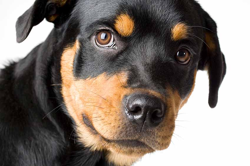 Rottweiler watching for burglars