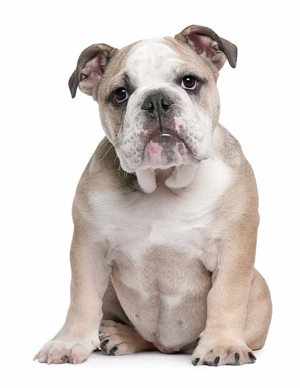 english bulldog waiting for british dog names