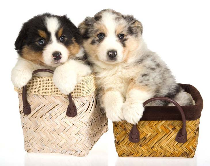 Australian Shepherd puppies ready to play