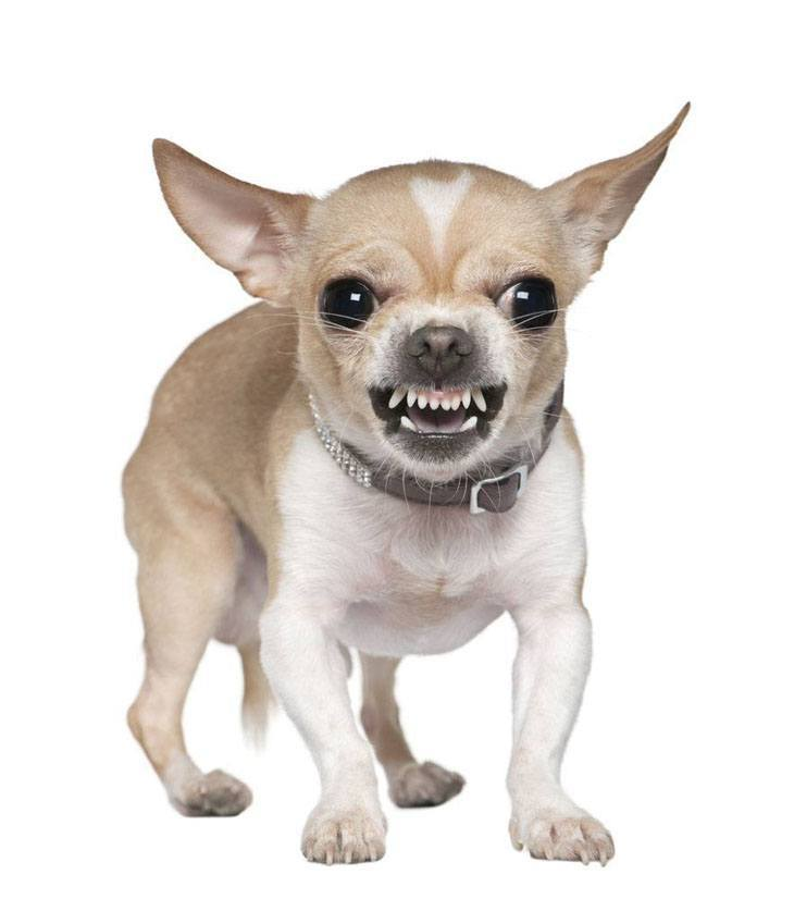 Man eating Chihuahua