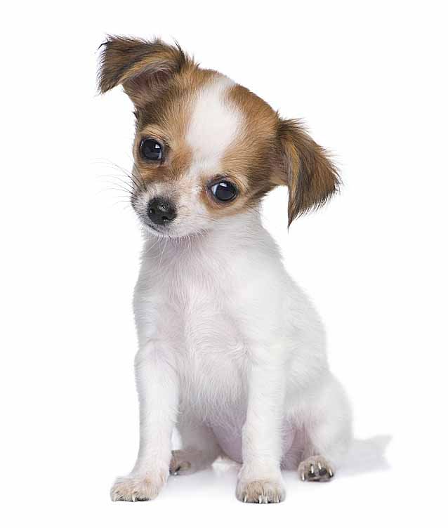 Long haired Chihuahua puppy looking for Mexican dog names
