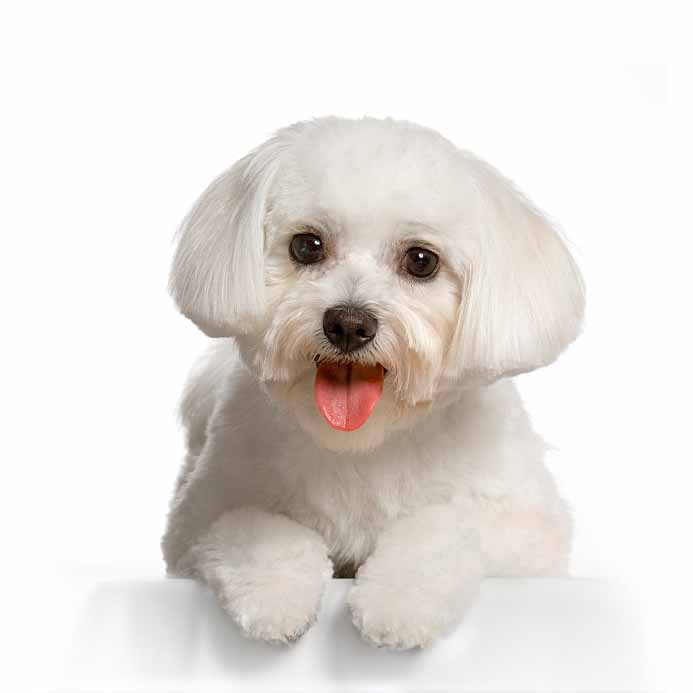 Maltese puppy looking for some fun