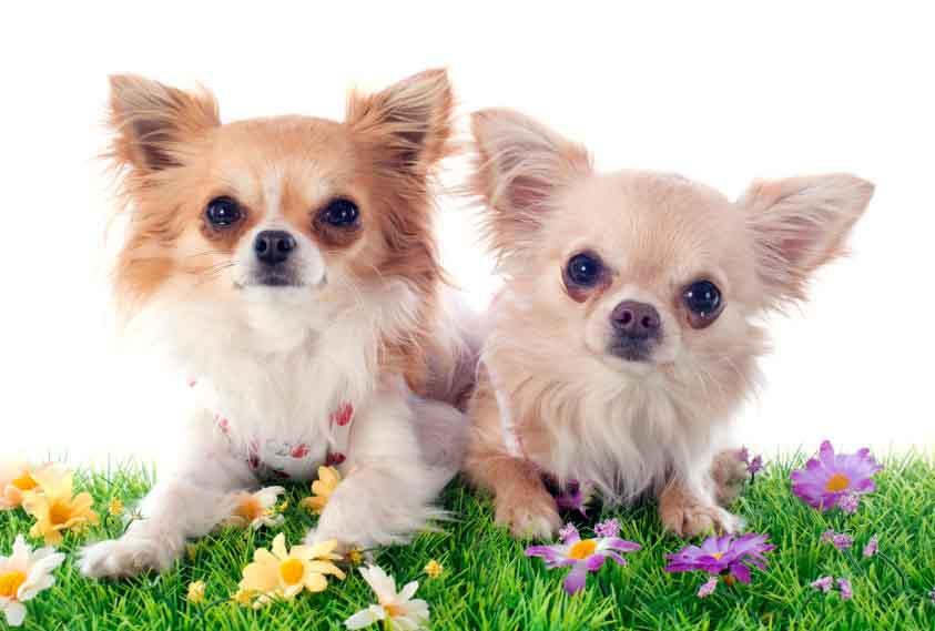 Chihuahua cuties