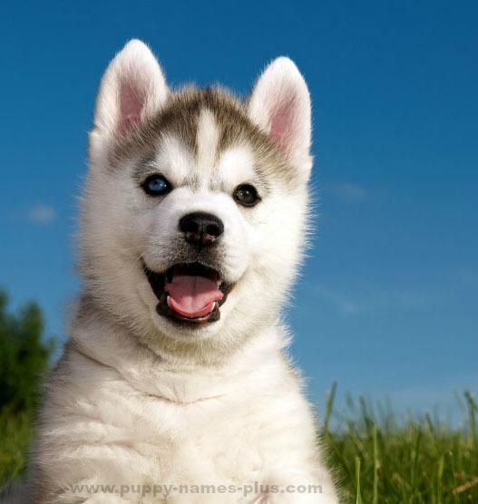 Fable  Husky Dog Breed