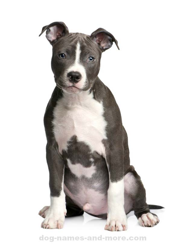 dog male puppy names most popular american pit bull terrier