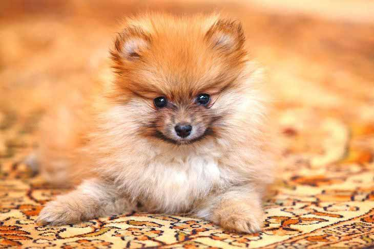 pomeranian dog names female dog names popular ideas for the cute girl puppy 6862