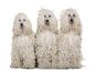 White corded Poodles