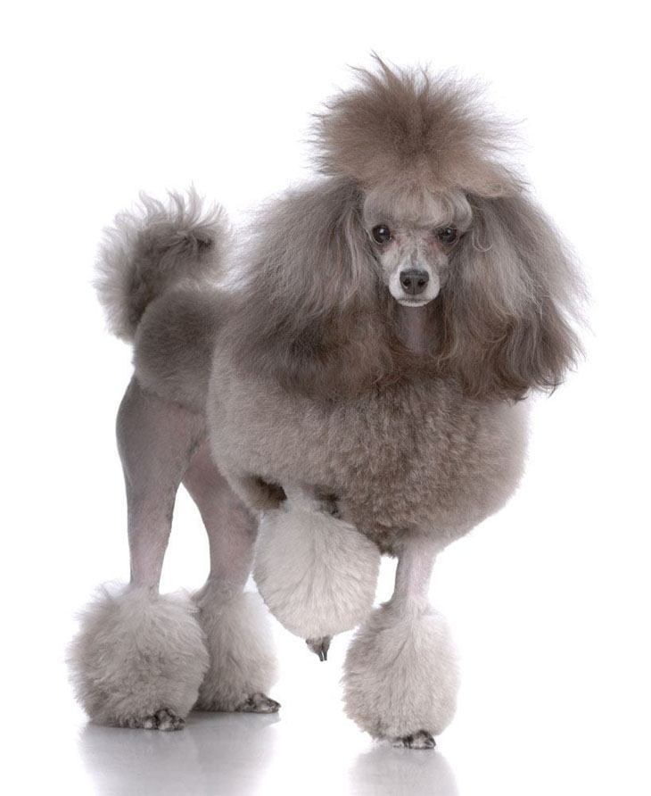 Gray Poodle strutting his stuff