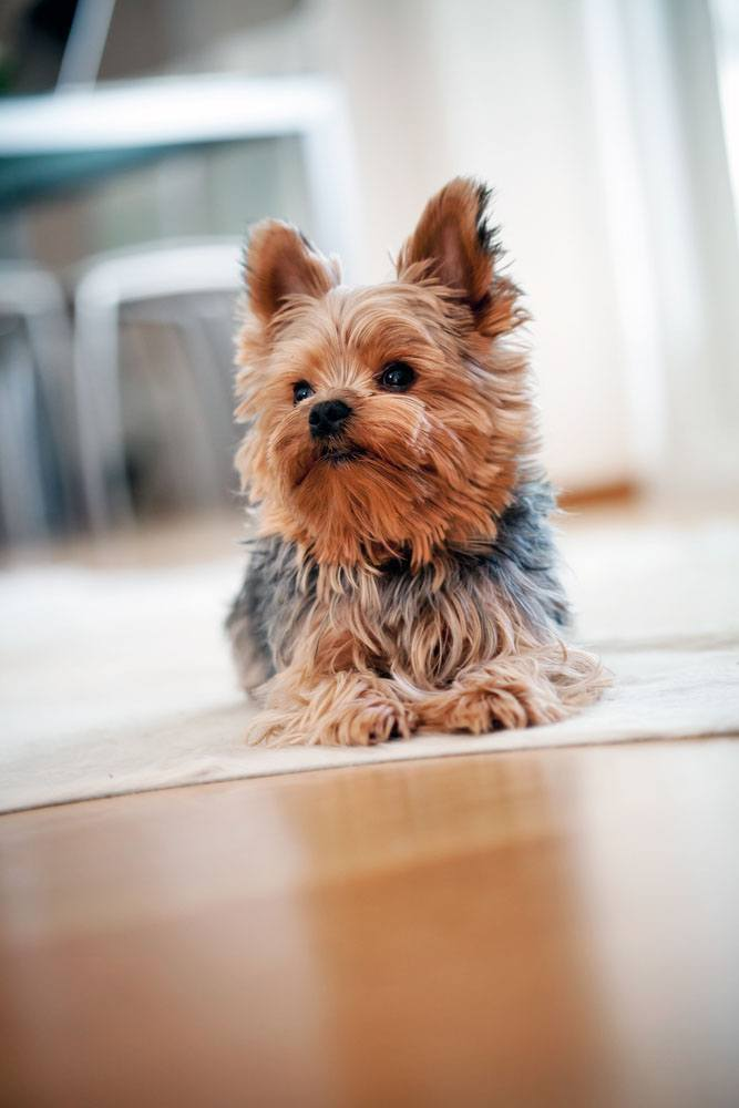Yorkshire Terrier taking a rest