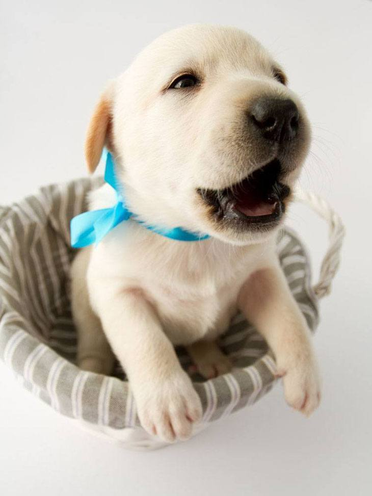 Labrador Retriever puppy can't wait to play with you
