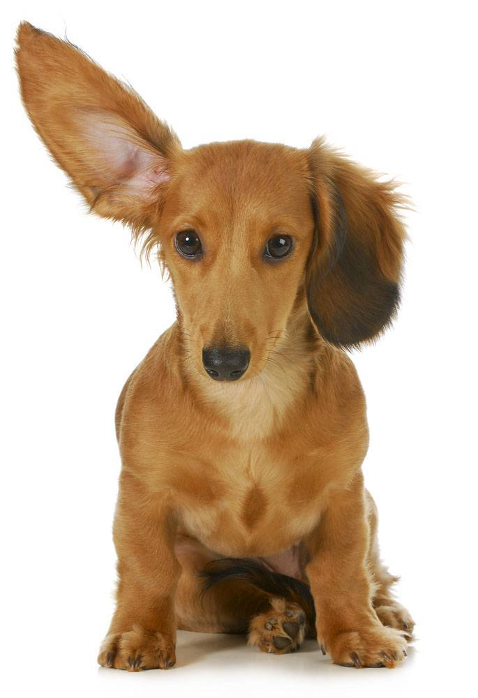 This Dachshund can hear what you're thinking