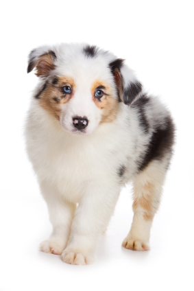 Colorful Australian Shepherd puppy