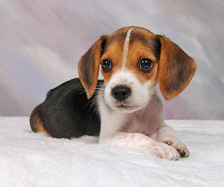 Beagle puppy looking for the cat