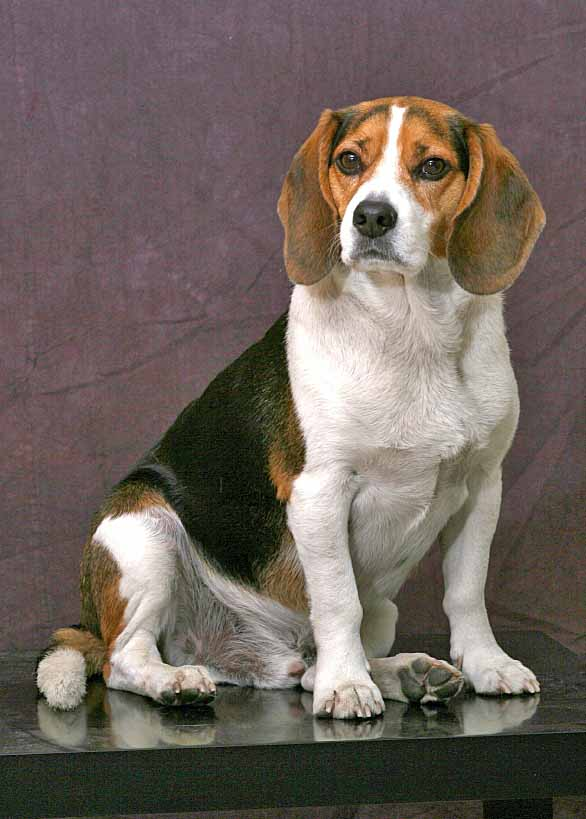 Beagle hunting dog