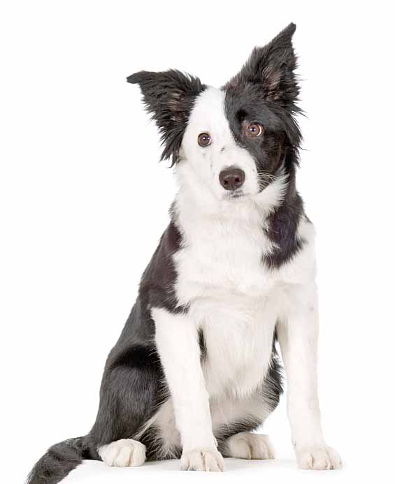 Lonely Border Collie