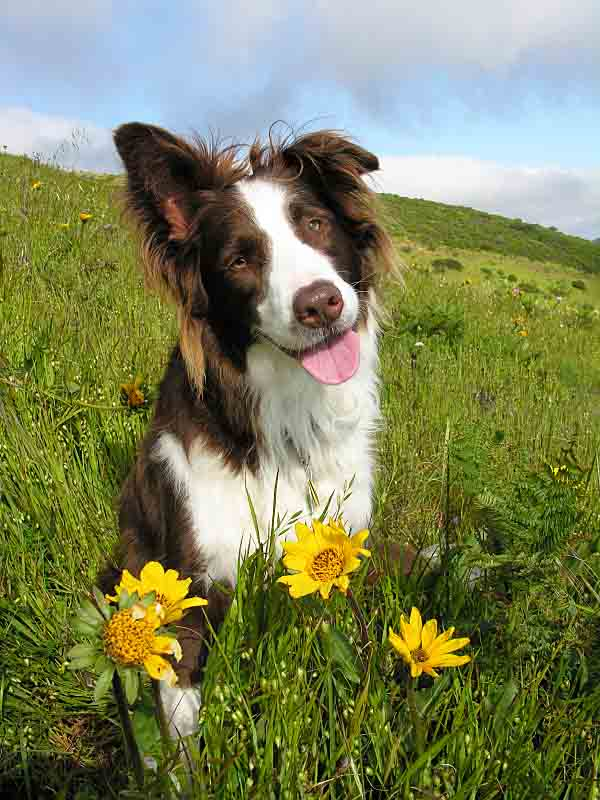 Cute Border Collie enjoying a spring day