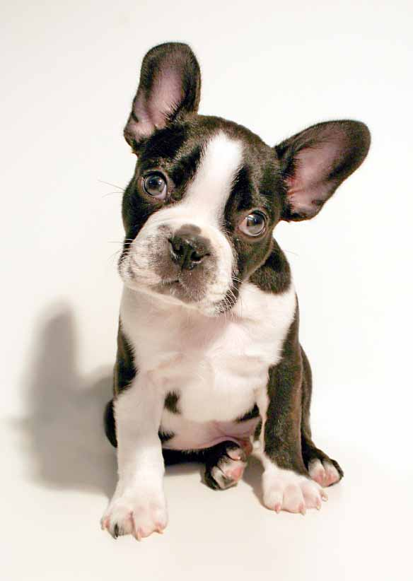 playful terrier waiting for boston terrier names