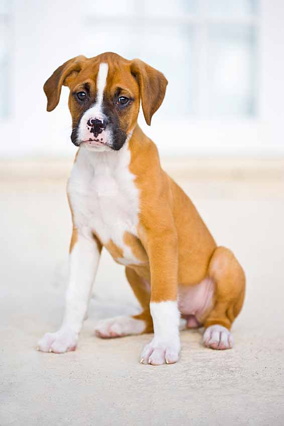 Boxer Dog Names Popular Male Female Boxer Names