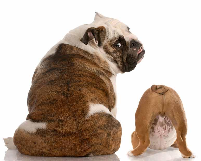Not bashful Bulldogs
