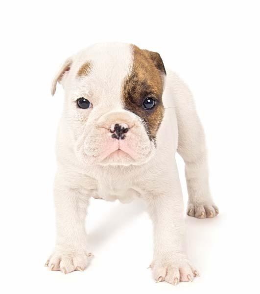 Bulldog puppy ready for a fight