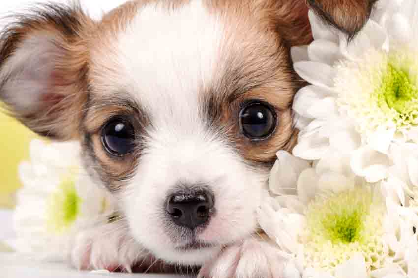 Chihuahua puppy hiding behind some flowers