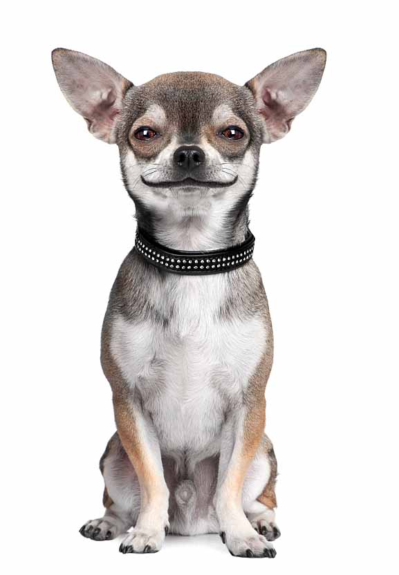 This Chihuahua is up to something