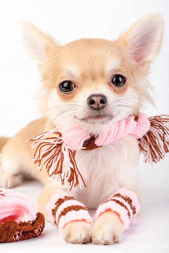 Lovable Chihuahua looking for puppy names
