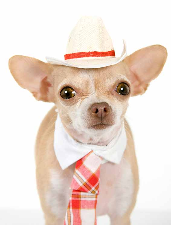 Chihuahua with a sense of style