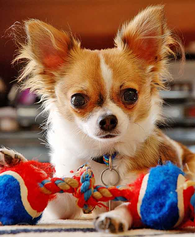 Beautiful Chihuahua playing with it's toys