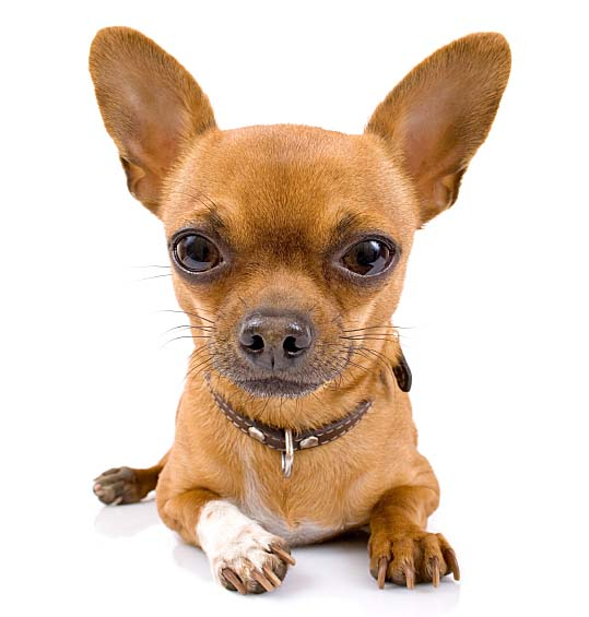 Chihuahua long ears