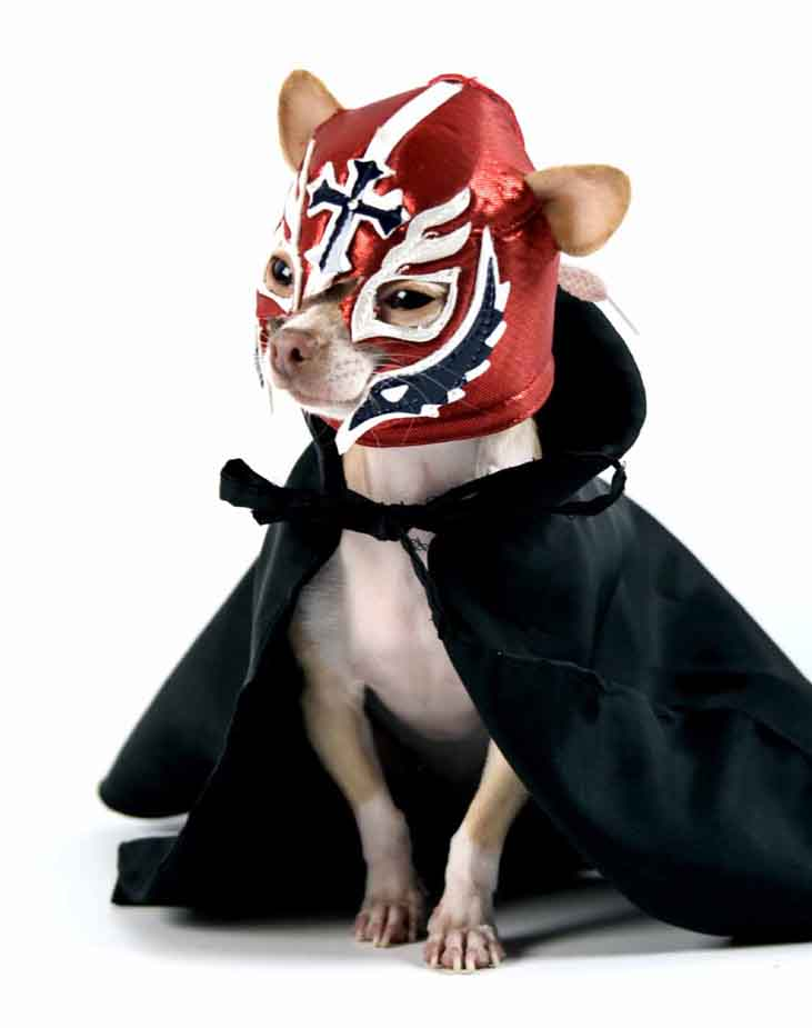 Chihuahua wrestler of course