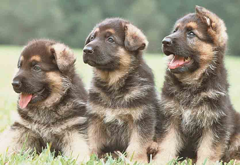 Three German Shepherd puppies having fun