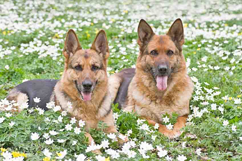 German Shepherds enjoying a flower filled meadow