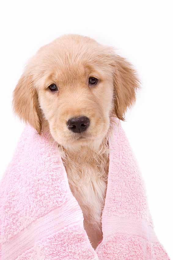 Lab puppy bathtime