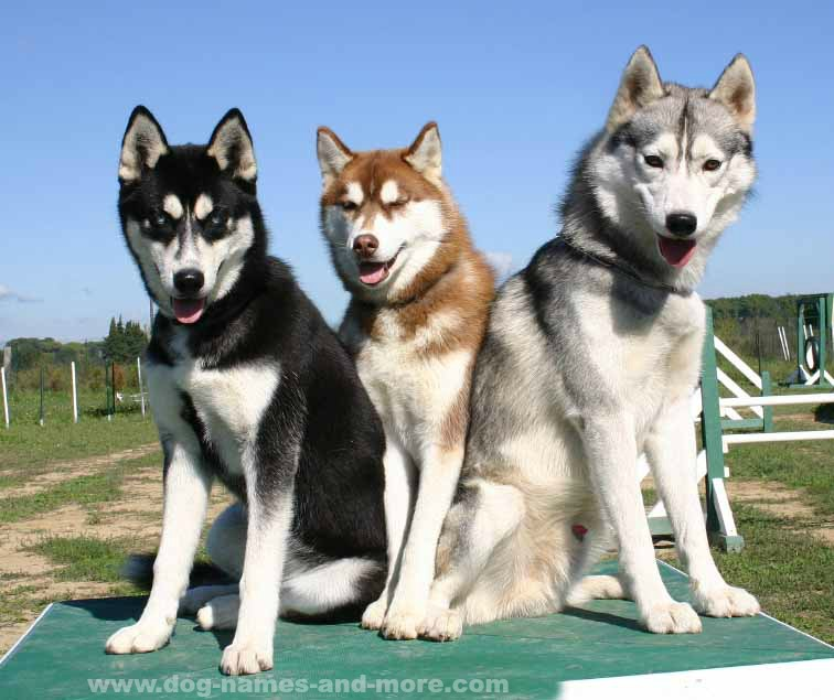 Three beautiful Siberian Huskies