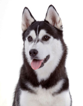 Unique Husky Names For Your Male Or Female