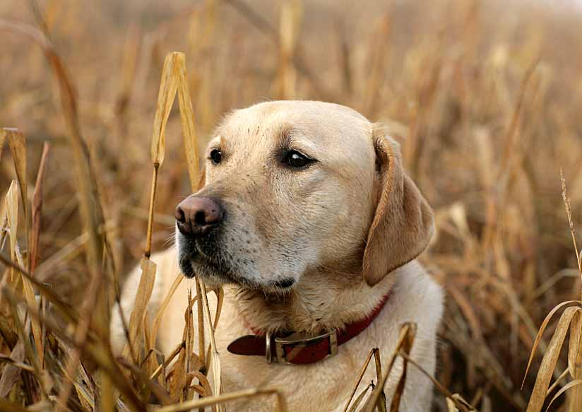 Yellow Lab out hunting