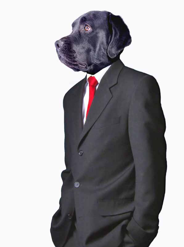 Black Lab wearing a suit getting ready for a business meeting