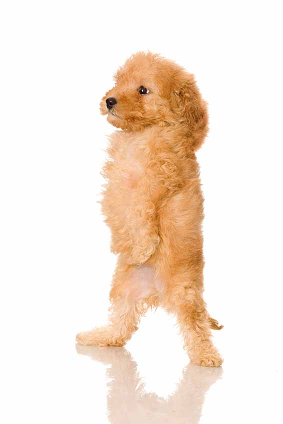 French Poodle Puppy Looking For Dog Names