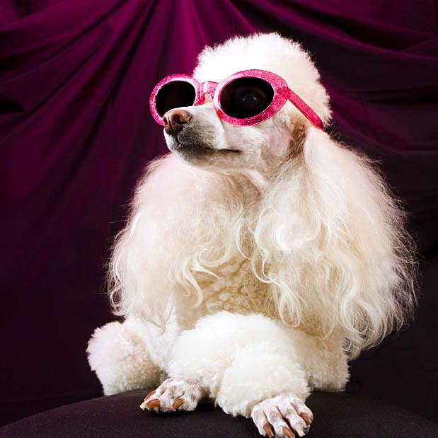 Cool Poodle