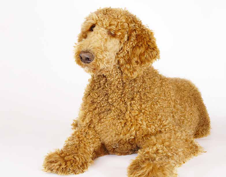 Curly Standard Poodle enjoying a quiet moment