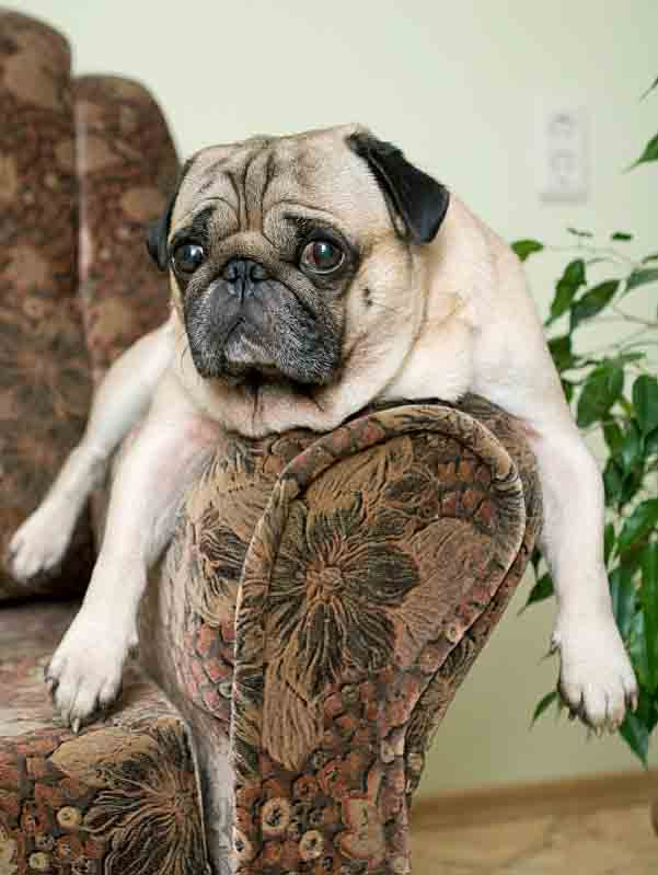 Lazy Pug suitable for a lazy dog name