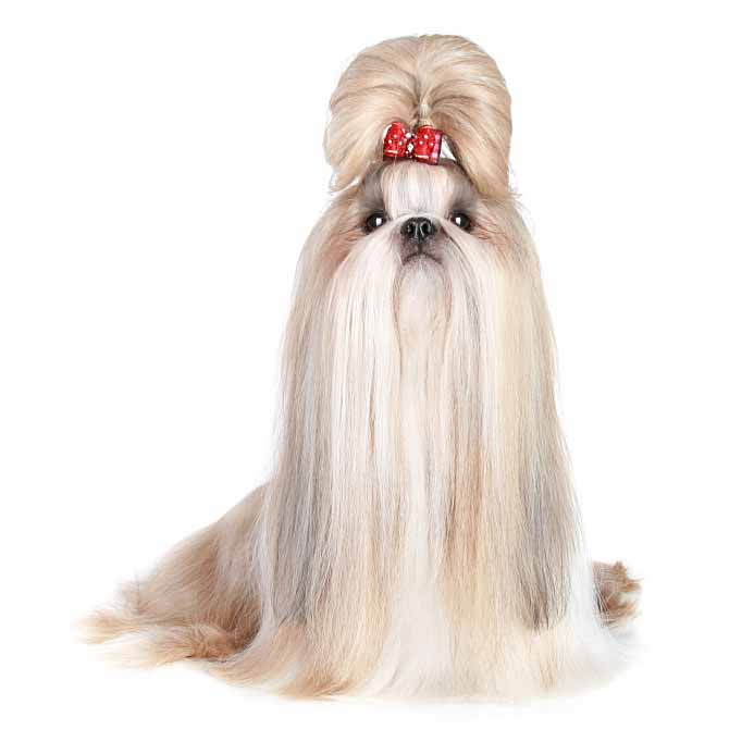 Beautifully groomed Shih Tzu