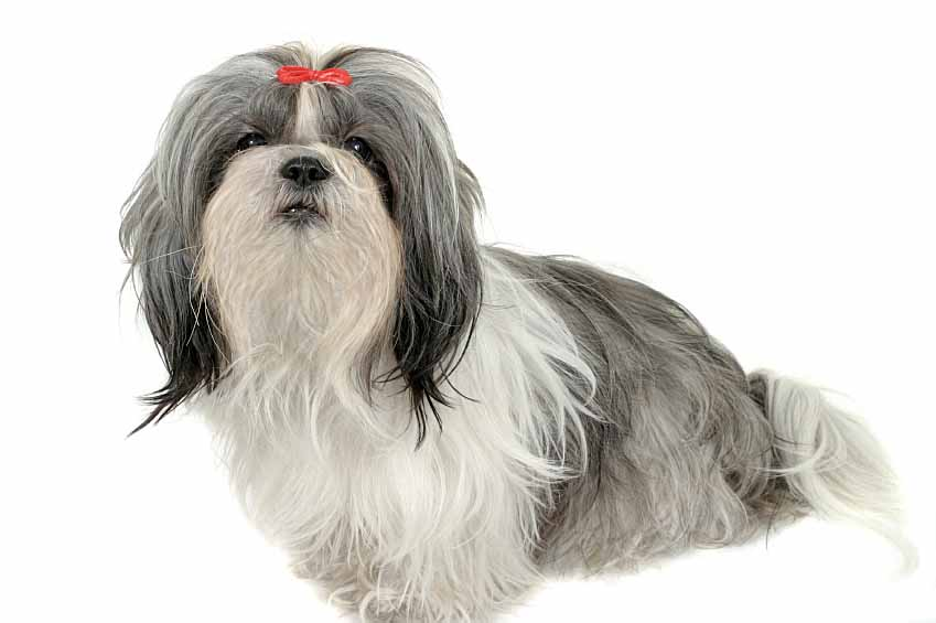 chinese shih tzu names chinese dog names find cute male and female names 8665