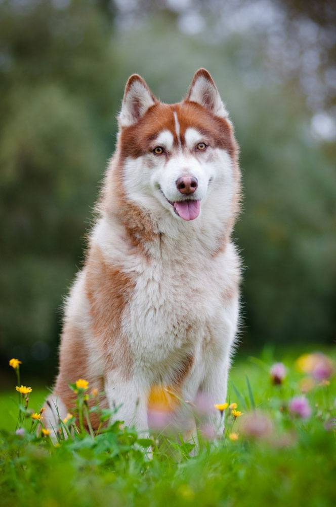 Unique Male Dog Names For Huskies