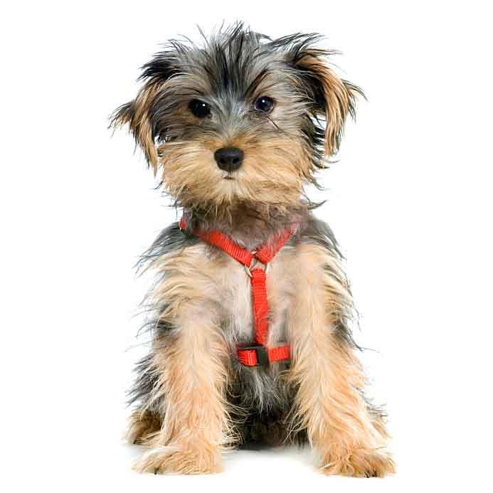 Yorkie puppy needing haircut