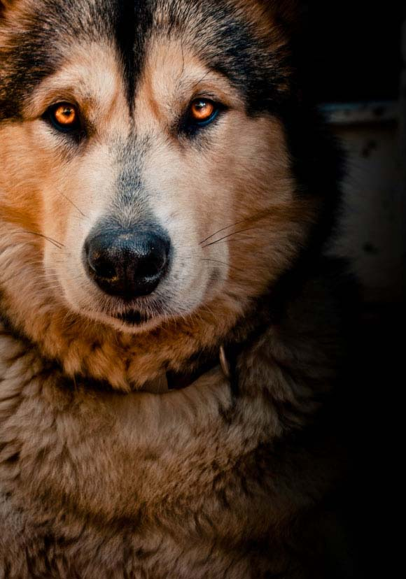 Beautiful Alaskan Malamute