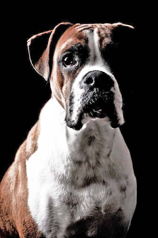 Beautiful Boxers deserve only the most popular Boxer dog names. Find them here... https://www.dog-names-and-more.com/Boxer-Dog-Names.html